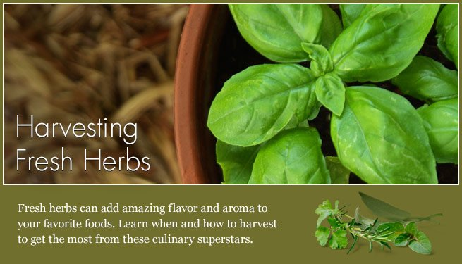 article-harvesting_herbs